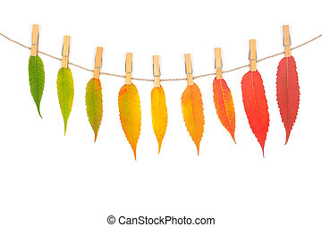 garland of colorful autumn leaves on a rope with wooden clothespins isolated on white background, top view flat lay