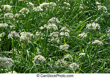 Garlic chives flower