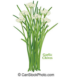 Garlic Chives, aromatic herb with white flowers, slender, flavorful leaves, mild onion garlic flavor. Also called Chinese chives or wild garlic. Popular cooking ingredient in China, Korea, India, Philippines, Japan and Asia. See other herbs and spices in this series.