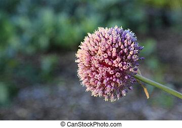 Garlic flower bloom.