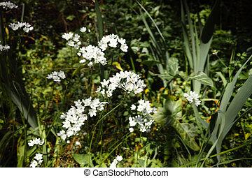 garlic flower in a meadow