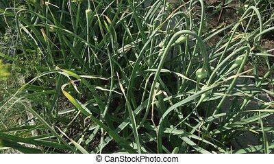 Garlic grows on garden bed - Garlic grows on the garden bed