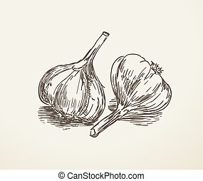 garlic hand drawn sketch in vintage style. vector