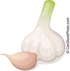 Garlic isolated on white. Vector illustration