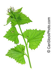 Garlic mustard (Alliaria petiolata) - Garlic mustard,...