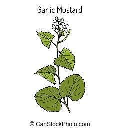 Garlic Mustard Alliaria petiolata , medicinal plant - Garlic...