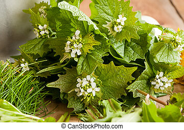 Garlic mustard (Alliaria petiolata) - wild edible plant on a...