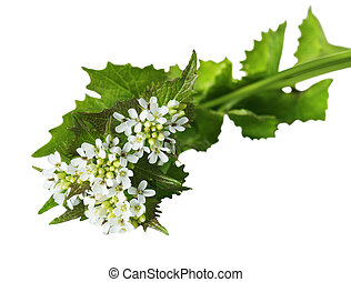 Garlic Mustard Wildflower - Garlic Mustard Alliaria...