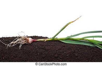 Garlic on the soil