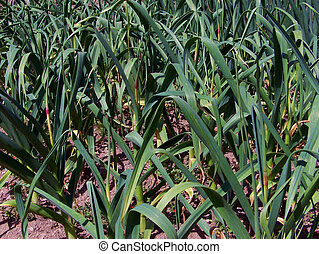 Garlic Plantation