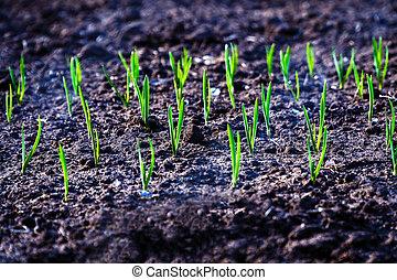 Garlic shoots in the garden