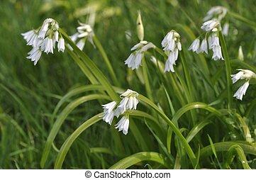 garlic triqueter in a garden