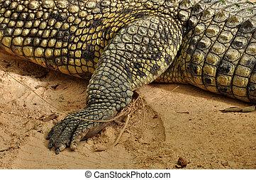 garras, piel, detalle, cocodrilo de nile