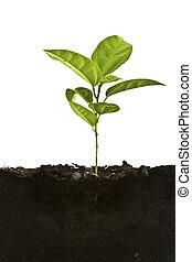 gartenerde, pflanze, oben