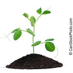 gartenerde, pflanze