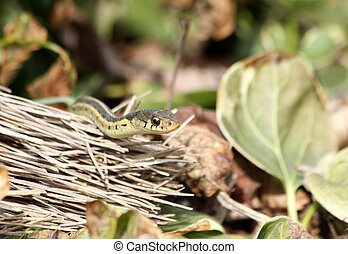garter snake and broom