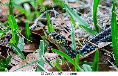 Garter Snake Looking