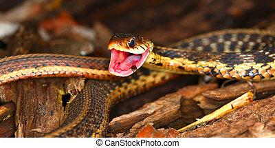 Garter Snake (Thamnophis sirtalis)