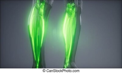 gastrocnemius-, anatomie, visible, muscle, carte