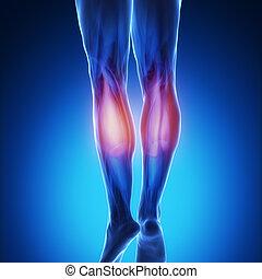 gastrocnemius - blue muscle anatomy