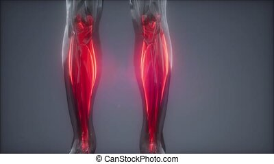 gastrocnemius- Visible muscle anatomy map