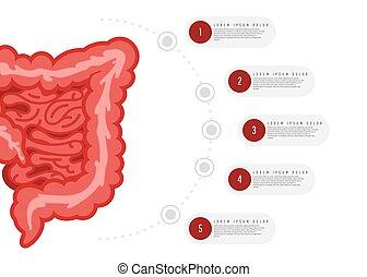 gastrointestinal, biologia, conceito, infographics.,...