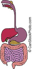A digestive system human anatomy gut gastrointestinal tract diagram