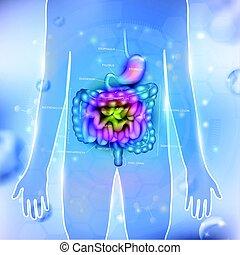 gastrointestinal, Tracto