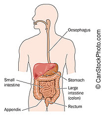 Human digestive system - labeled