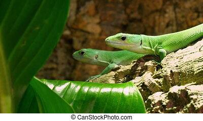 gastropholis, lizards, paar, lactide, groene, prasina