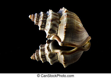 Gastropod shell on a black background.