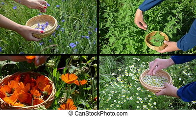gather herbs collage - Woman hands gather blue cornflower,...