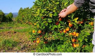 Gatherer picking orange from branch of tree