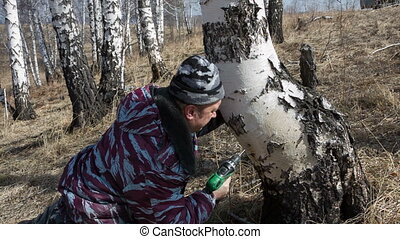 Gathering birch sap - man in the wood gathers birch sap