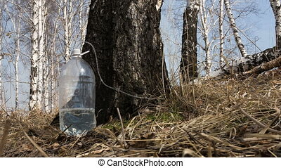 Gathering birch sap - Birch sap dripping through a tube into...