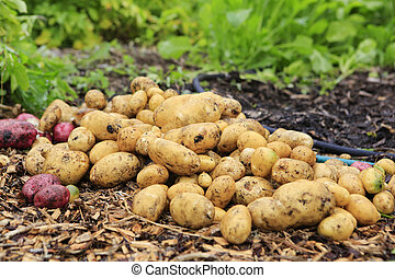 Gathering harvest. Fresh young potatoes - View of just...