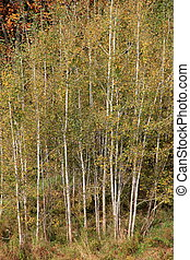 Gathering of pretty birch trees
