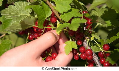 Gathering red currant, speed-up