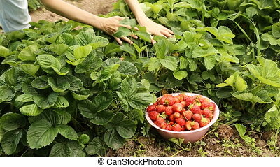 Gathering ripe strawberries form the garden bed