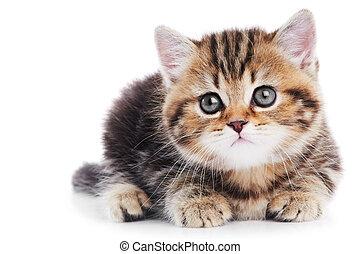 gatinho, shorthair, isolado, britânico, gato