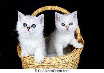 gatinhos, dois, experiência preta, cesta, branca