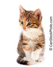 gatito, blanco