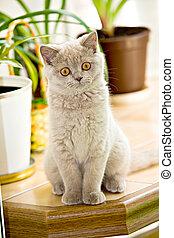 gatito, británico, shorthair