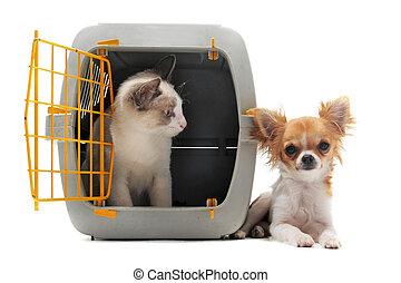gatito, en, portadora de mascota, y, chihuahua