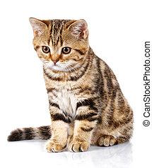 gatito, sentado, blanco, plano de fondo