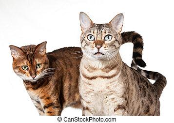 gatitos, dos, sorprendido, bengala, Mirar, Mirar fijamente