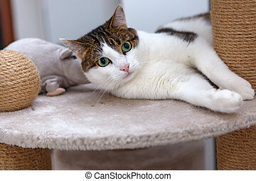 gato, acostado, en, un, rasguño del poste