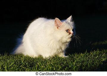gato, al aire libre, persa