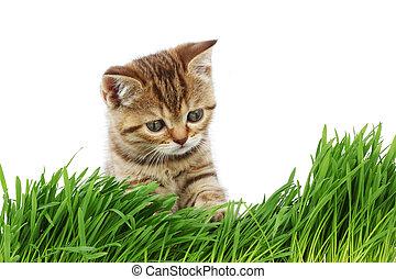 gato, atrás, pasto o césped