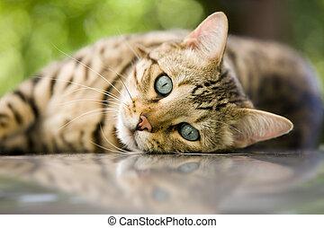 gato, -, bengala, gato